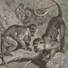 1894 Victorian Natural History Engraving ~ Green Monkeys