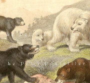 1858 Victorian Bears Natural History Wildlife Engraving