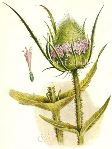 1911 Edwardian Wildflower, Teazel, Botanical Chromolithograph