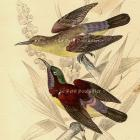 Antique Crimson Backed Sunbirds 1843 Victorian Naturalist Library Hand Colored Engraving