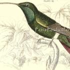 1833 Victorian Black-Breasted Humming Bird, Jardine Engraving