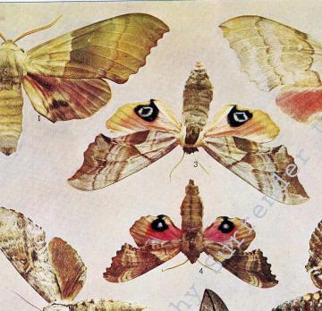 Moths Of Taupe, Rose and Brown Natural History Rotogravure Illustration VII 1907