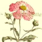 Pink Rockrose 1978 William Curtis Botanical Lithograph, Pl 1