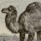 Arabian Dromedary 1894 Victorian Royal Natural History Engraving
