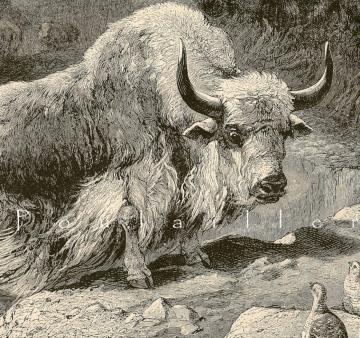 Antique Victorian Natural History Engraving To Frame, The Domestic Yak