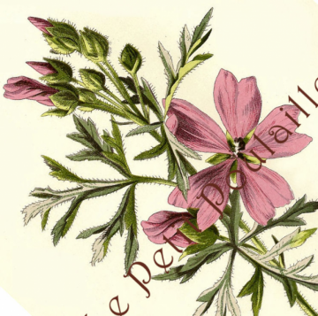 1882 Edward Holmes Victorian Botanical Chromolithograph Featuring Musk Mallow WIldflower