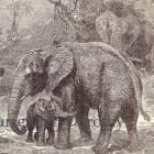 Elephant's Child 1890 Edwardian Natural History Illustration To Frame