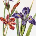 1950s Red Iris Blue Flag Flower North American Wildflower Botanical Print To Frame