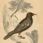 Tallis Scriptures Starling 1850 Victorian Hand Colored Natural History Bird Engraving