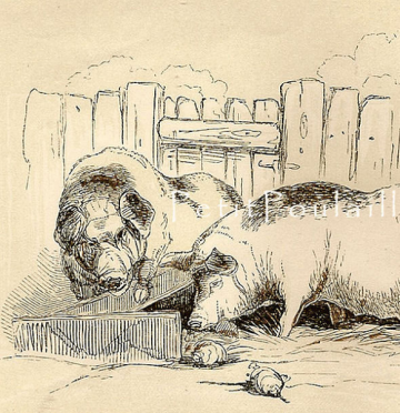 Antique Victorian Boar and Sow Engraving 1850 Natural History