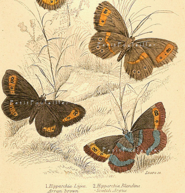 Antique 1833 Jardine Victorian Hand Colored Butterfly Engraving, Aaron Brown and Scotch Argus, Pl 25