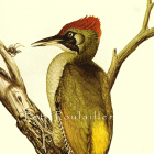 Green Woodpecker 1971 Louis Agassiz Fuertes Natural History Lithograph