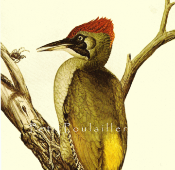 Vintage 1971 Louis Agassiz Fuertes Natural History Poster Lithograph Featuring the Green Woodpecker