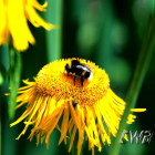 Busy Bee photographic art print