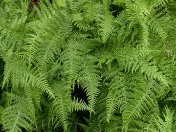 Ferns of the Blue Ridge Mountains