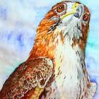 Red Tailed Hawk- Looking to the Future