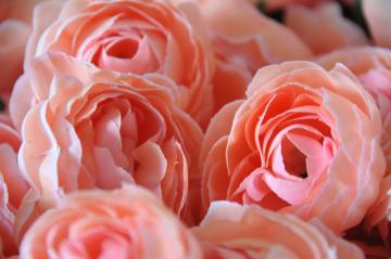 Set of 5 Pale Pink Ranunculus Flowers ~ GoRgEoUs Color!