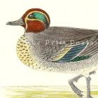 1895 Victorian Teal Duck Natural History Hand Colored Engraving