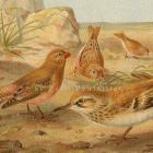Desert Finch and Lark 1894 Victorian Royal Natural History Chromolithograph