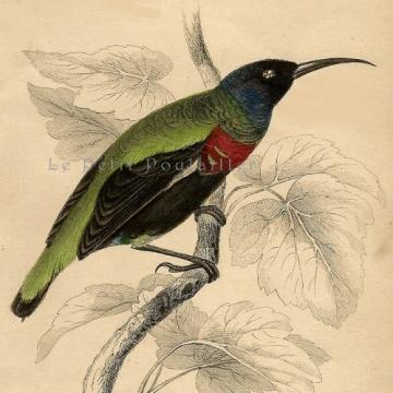 1843 Victorian Splendid Humming Bird ~ Jardine Hand Colored Engraving