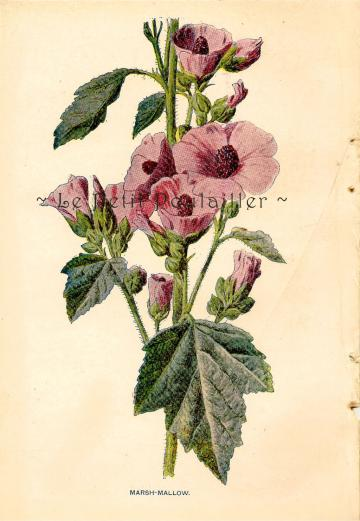 1882 Marsh Mallow ~ Edward Holmes Wildflower Botanical Chromolitho