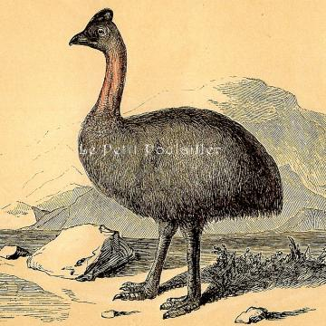 1850 Natural History Engraving ~ The Victorian Cassawary