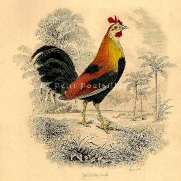 1843 Victorian Natural History Engraving Title Page ~ Chickens!!