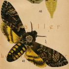 Antique 1906 Edwardian Engraving Featuring the Death&#039;s Head Hawk Moth