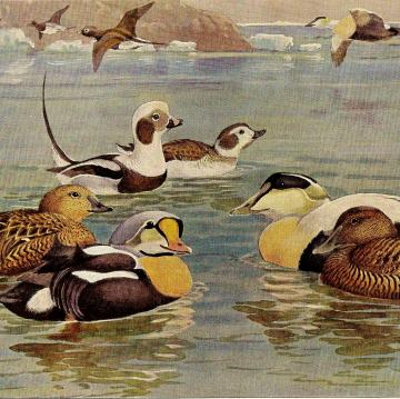 1930 Allan Brooks Natural History Lithograph ~ Eider Ducks, Pl 112
