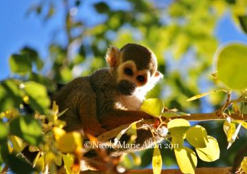 Monkey Shines: 8x11 Giclée Print of Squirrel Monkey