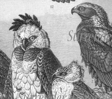 1907 Hawk Falcon Eagle Vulture Birds Of Prey Antique Engraved Illustration Natural History