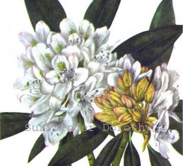 White Rhododendron Rose Bay Flowers 1955 Botanical Lithograph Print