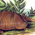 Nine Banded Armadillo Lithograph Audubon Animal Lithograph