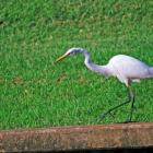 Giant white egret fishing