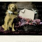 Golden Retriever antique French postcard Messenger Dog DIGITAL scan