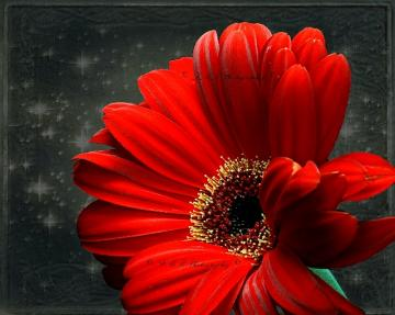 Fine Art Photograph, Red Gebera Daisy , Fine Art Nature Photography