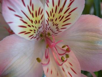 Pink Alstroemeria Botanical Original Photo Macro Blank Greeting Card