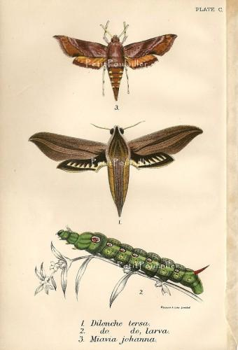 Antique Victorian Hawk Moths, Lloyds Natural History Engraving, 100