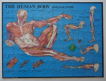 Human Body Muscular System Puzzle  Instructional Fair  IF 888