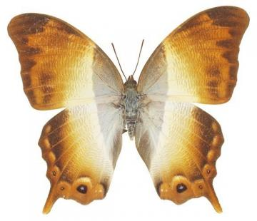 Beautiful Golden Moth Decal