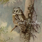1930 Allan Brooks Natural History Bird Lithograph ~ Owls