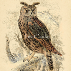 Long Eared Owl 1833 William Jardine Naturalist Library Engraving