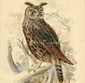 1833 Jardine's Long Eared Owl Natural History Engraving, Pl 31