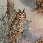 1930 Allan Brooks Natural History Lithograph ~ Hobgoblin Owls
