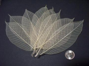 100 Large Skeleton Leaves