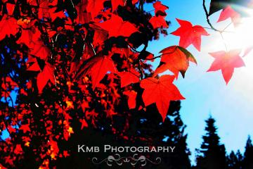 Autumn Fire.  Red Leaves during Fall Nature Fine Art 8x10 Photograph