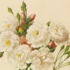 Noisette Rose and Monthly Rose 1954 Redoute Botanical Lithographs