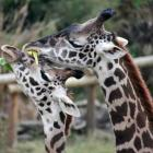 Giraffe Love