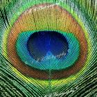 ACEO Card, ATC Art Card, &quot;Eye&quot; See You Peacock Feather, ACEO Art Photograph, ATC Card