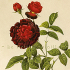 1954 Redoute Rose Botanical Lithos ~ The Evergreen Rose, 187-8